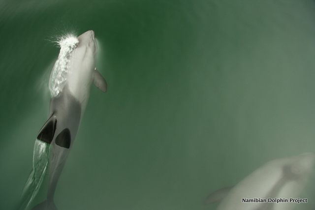 Heaviside\'s dolphins bow riding the research vessel