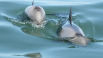 Two Heaviside\'s dolphins approach the boat