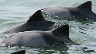 Acoustic behavior of bottlenose and Heaviside's dolphins